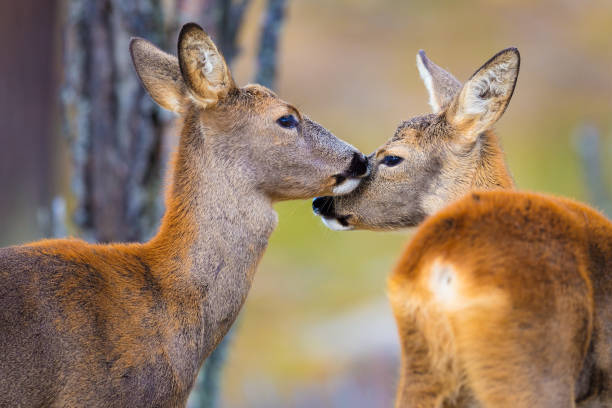 Two cute roe deers in the forest at fall Wildlife scene with two roe deers. Capreolus capreolus, walking in the grass. two roe in a natural habitat. deerstalker hat stock pictures, royalty-free photos & images