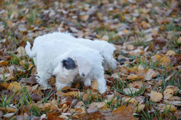 zwei niedliche sealyham terrier welpen sind im herbst park spazieren. waliser border terrier oder terrier cowley. zwei monate altes. - sealyham terrier stock-fotos und bilder