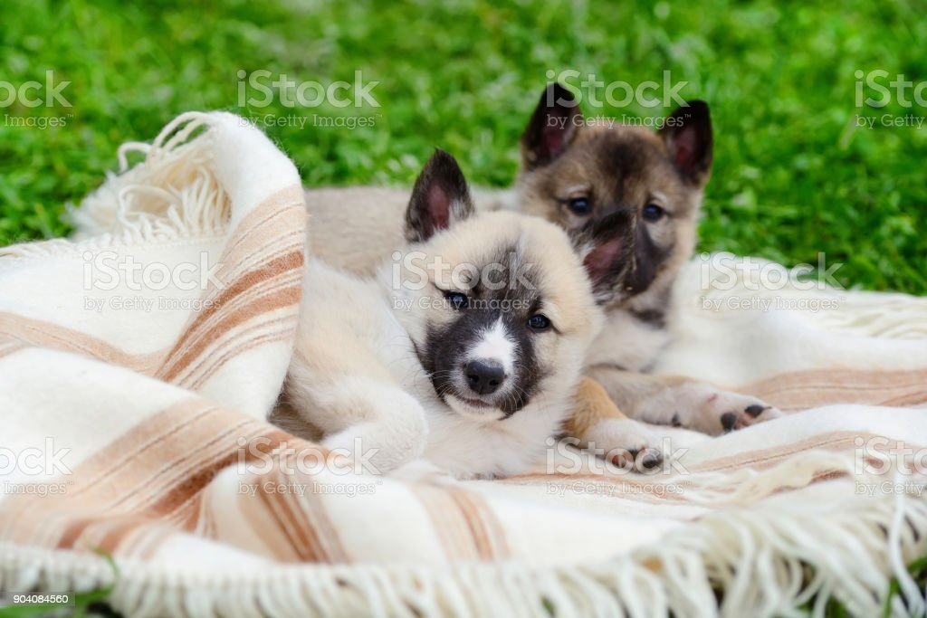 Two cute Siberian Laika puppies on the blanket stock photo