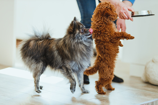 Pomeranian dog and a red poodle toy dog waiting impatiently to eat in a living room at home