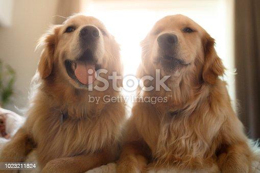 Two cute golden retriever dogs portrait