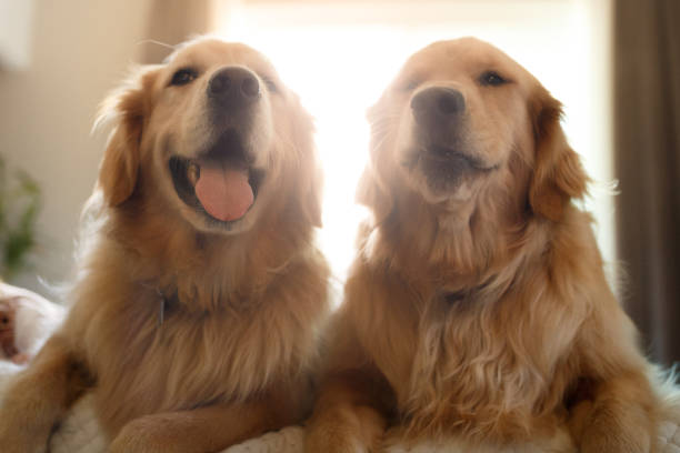 Two cute smiling golden retriever dogs stock photo