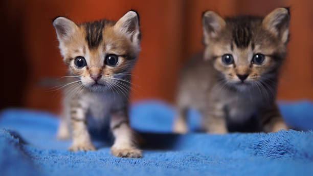 Two cute stray orphan rescued kittens looking at camera stock photo
