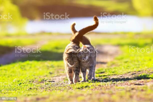Two cute striped kitten walking on green grass next to and caress on picture id682315876?b=1&k=6&m=682315876&s=612x612&h=a d5pka10vvai9vxikil9pujddat18y8hlrjcrfcoyy=