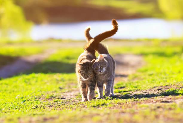 Two cute striped kitten walking on green grass next to and caress on picture id682315876?b=1&k=6&m=682315876&s=612x612&w=0&h=so7cwm4i6x913 abacezrpddjx6pyr2x2dqxybfklpo=