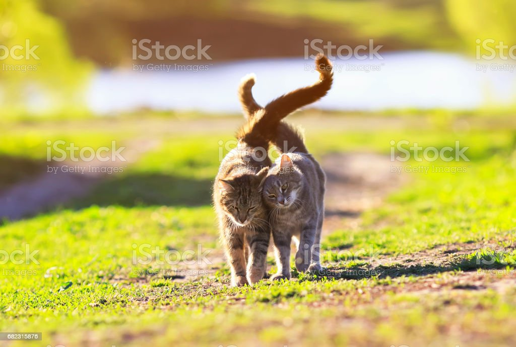 two cute striped kitten walking on green grass next to and caress on a summer day stock photo