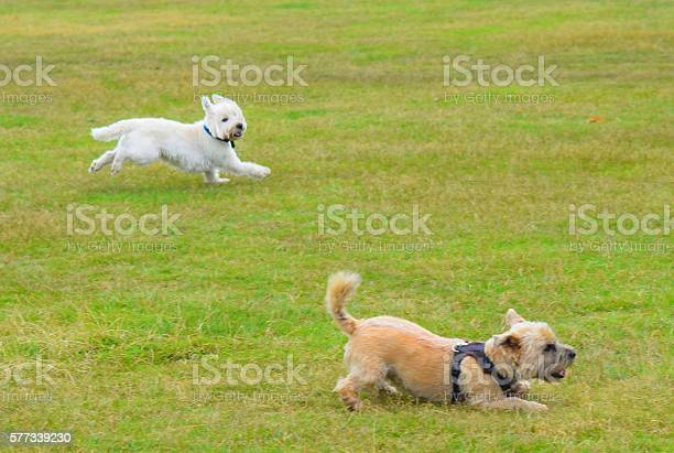 Two cute terrier dogs playing outside together picture id577339230?b=1&k=6&m=577339230&s=612x612&h=imbfjcizbc nisv27sybc7a5wr754jz5rfqc6mqcnmi=
