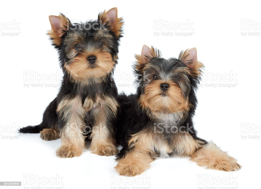 Two Cute Yorkie Puppies Stock Photo Download Image Now Istock