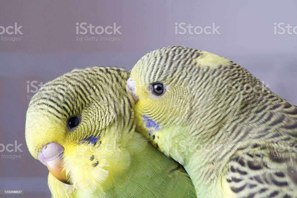 Two cute young budgies stock photo