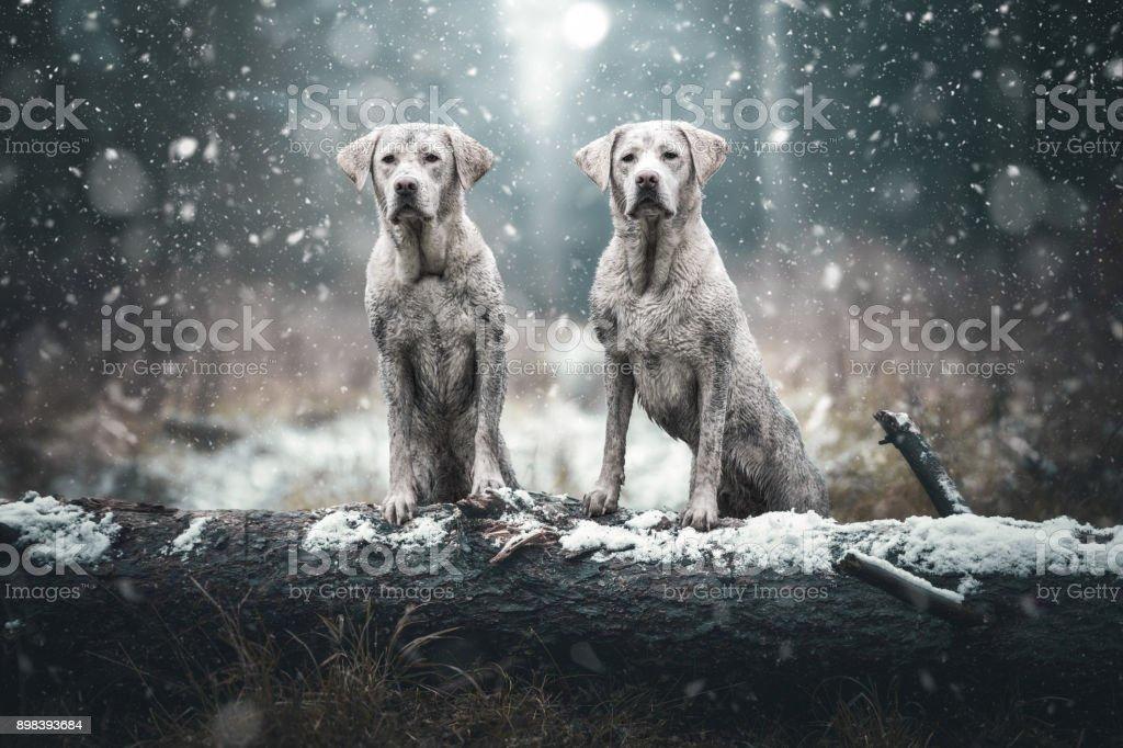 zwei süße junge schmutzig Labrador Retriever Hundewelpen in die stimmungsvolle Wald stand auf einem Baumstamm – Foto
