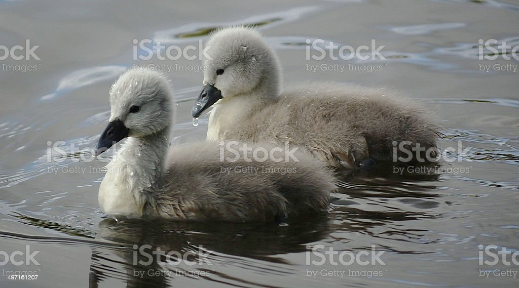 Two cygnets on a lake, close up stock photo