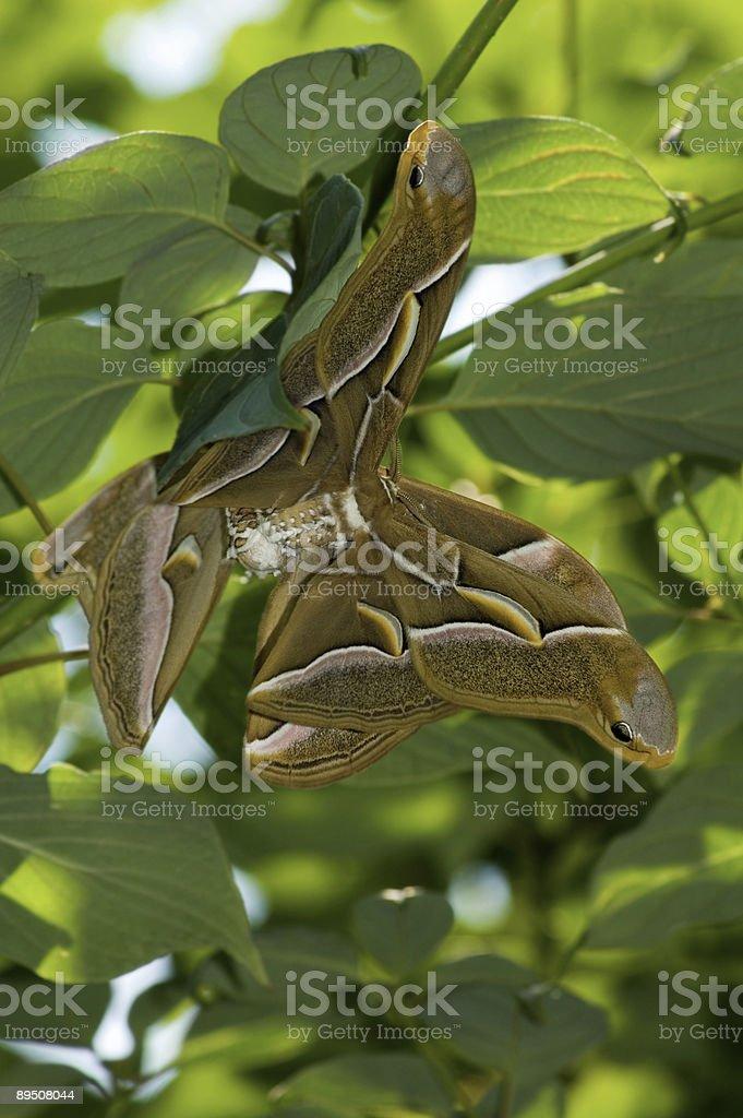 Two Cynthia Moths Mating royalty-free stock photo