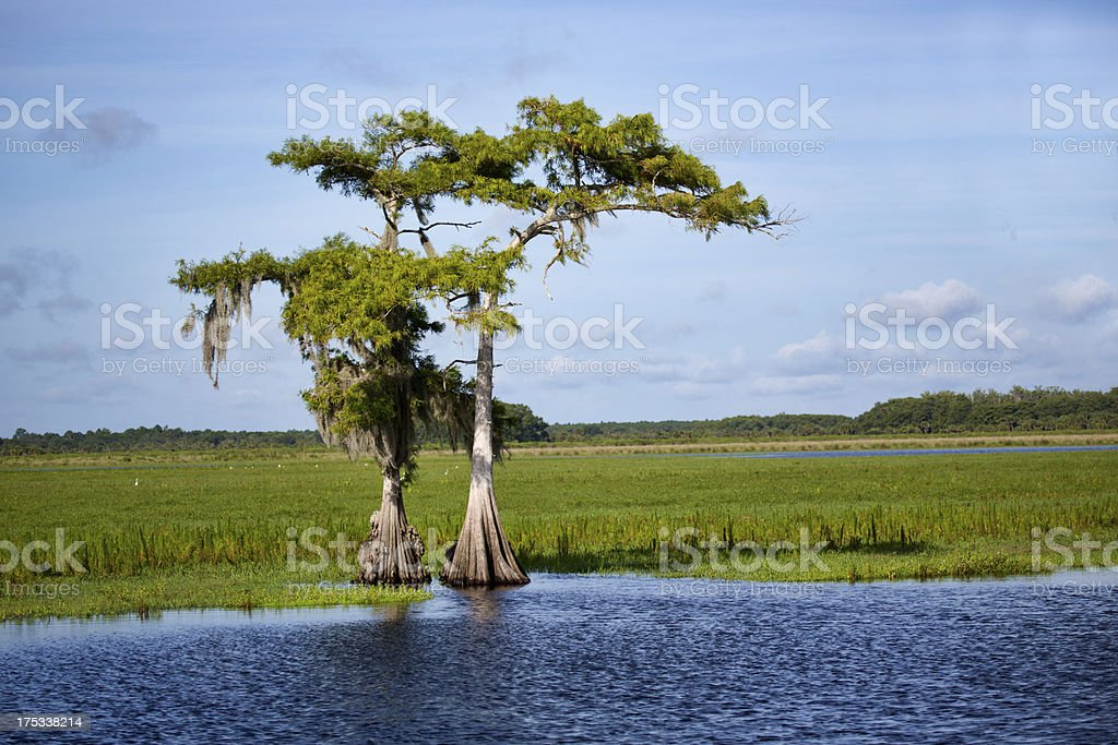 Two Cypress on the Saint Johns stock photo
