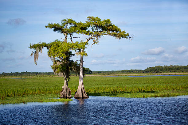 two cypress on the saint johns - bald cypress tree stockfoto's en -beelden