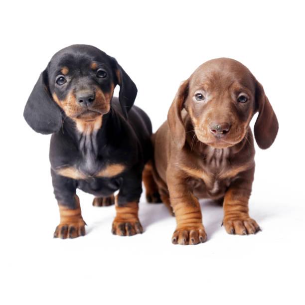 Two Dachshund puppies on white background stock photo