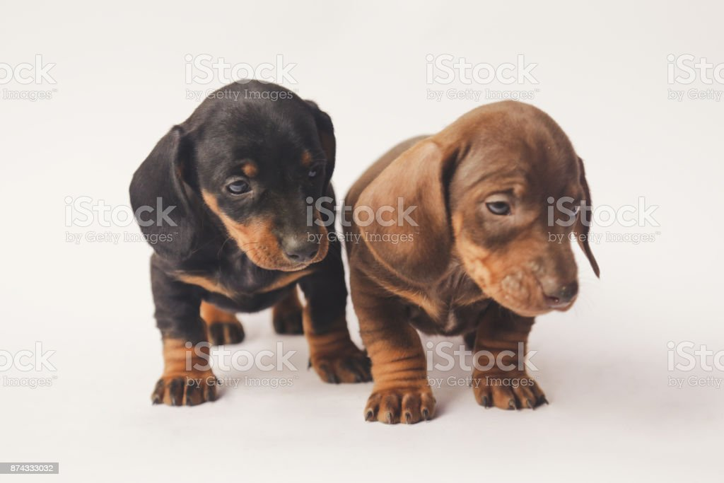 Two Dachshund Puppies On White Background Stock Photo - Download