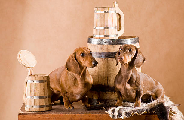 two dachshund with beer stock photo