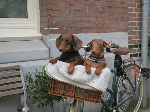 two dachshunds in a basket on a bicycle in Amsterdam