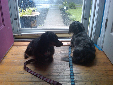 Two Dachshunds Waiting for the Rain to Stop