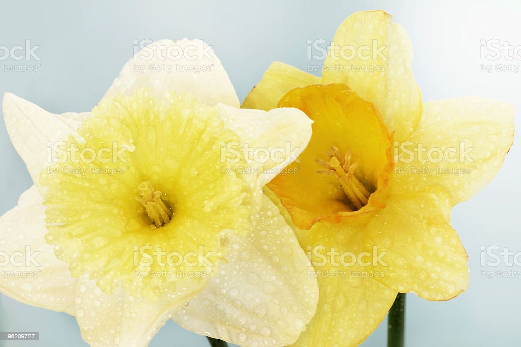 Two Daffodil. royalty-free stock photo