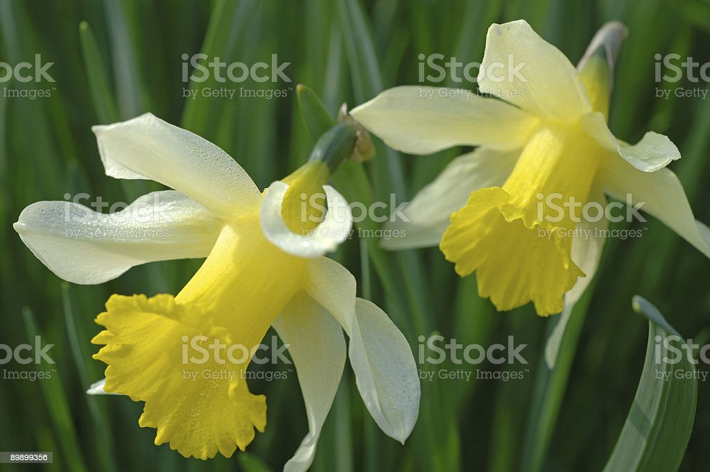 Two daffodils royalty-free stock photo