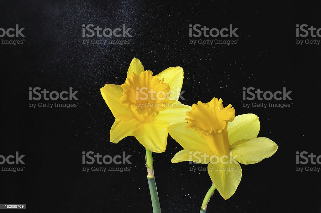 Two Daffodils with water drops royalty-free stock photo