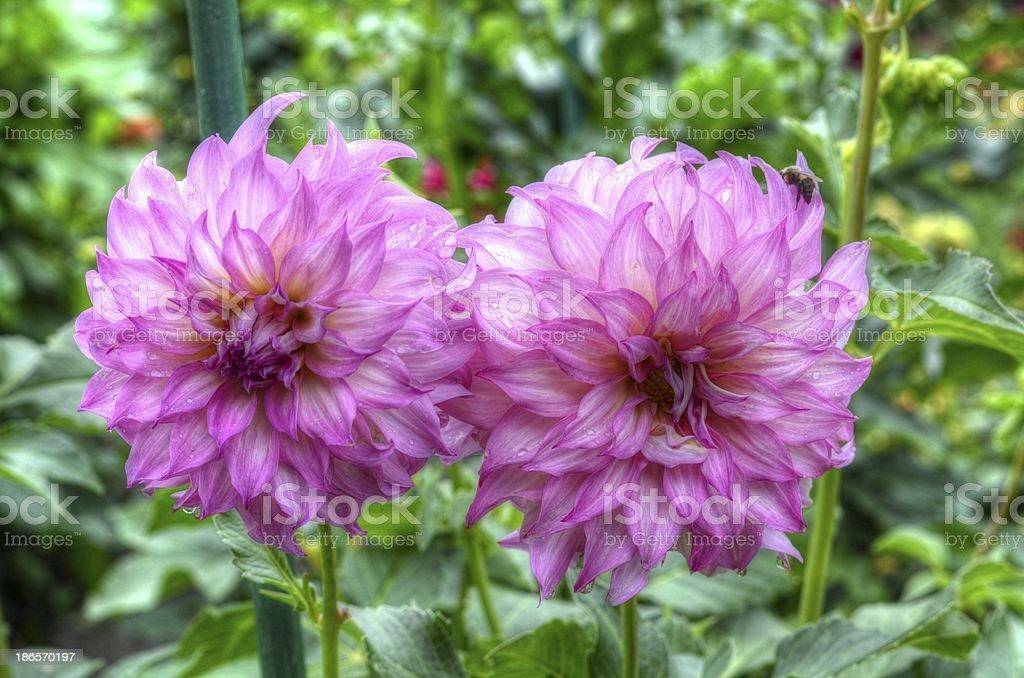 Two Dahlias stock photo