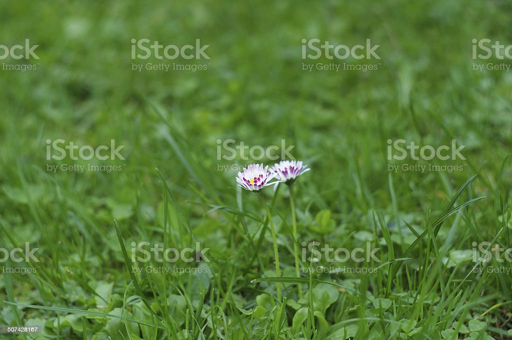 two daisies among grass on a field stock photo