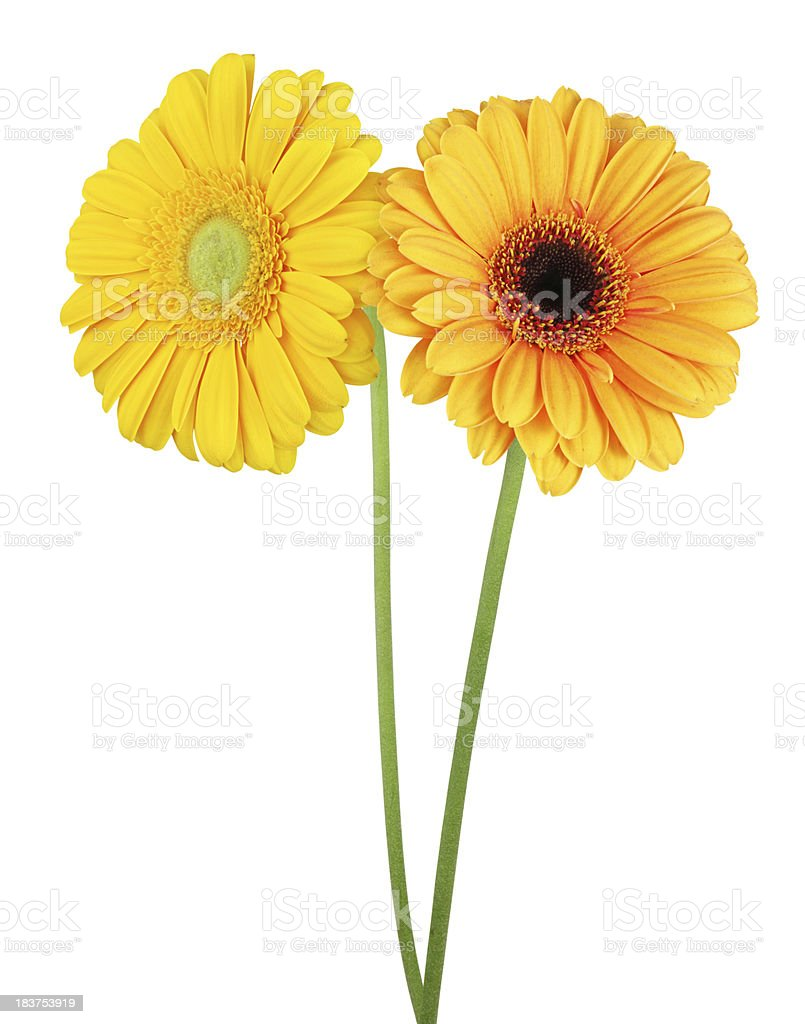 Two daisys isolated royalty-free stock photo