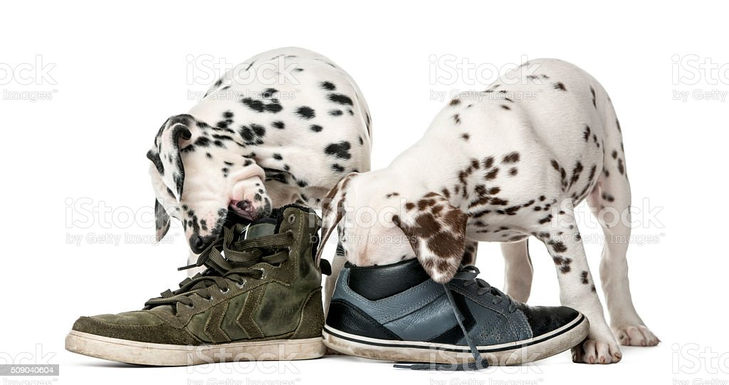 Two Dalmatian puppies chewing shoes stock photo