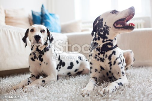 Two Dalmatians relaxing at home http://bit.ly/16Cq4VM