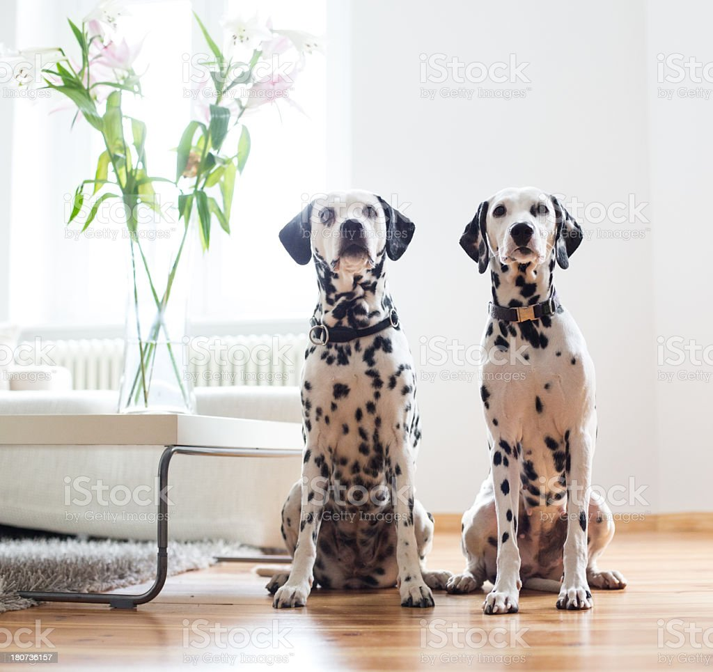 Two Dalmatians relaxing at home stock photo