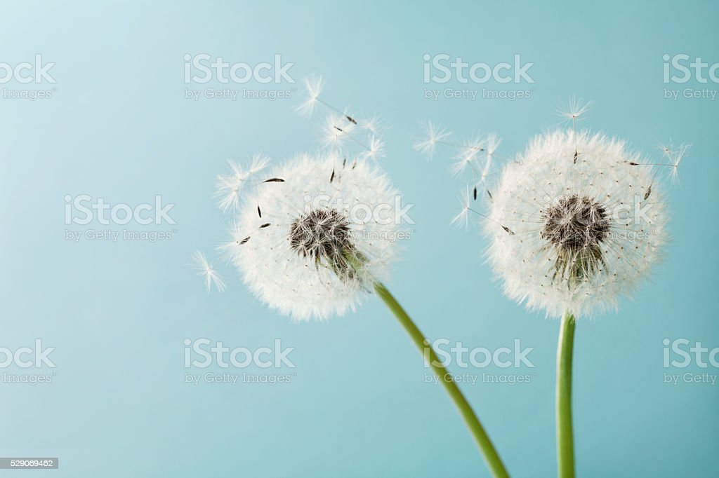 Two dandelion or taraxacum flowers for your design, macro stock photo
