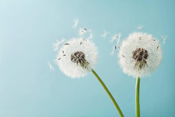 dwa kwiaty mniszek lub taraxacum dla swojego projektu, makro - pyłek zdjęcia i obrazy z banku zdjęć