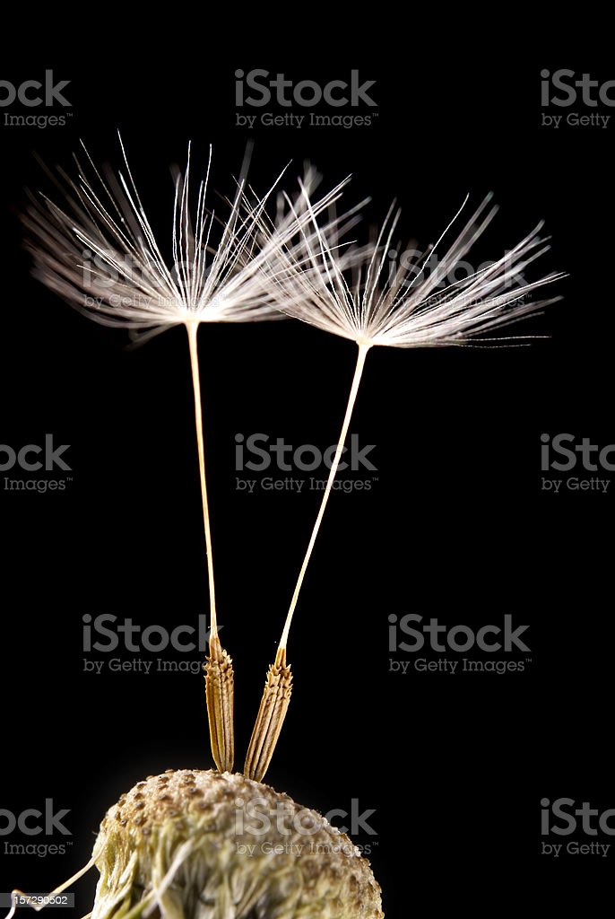 two dandelion seeds royalty-free stock photo