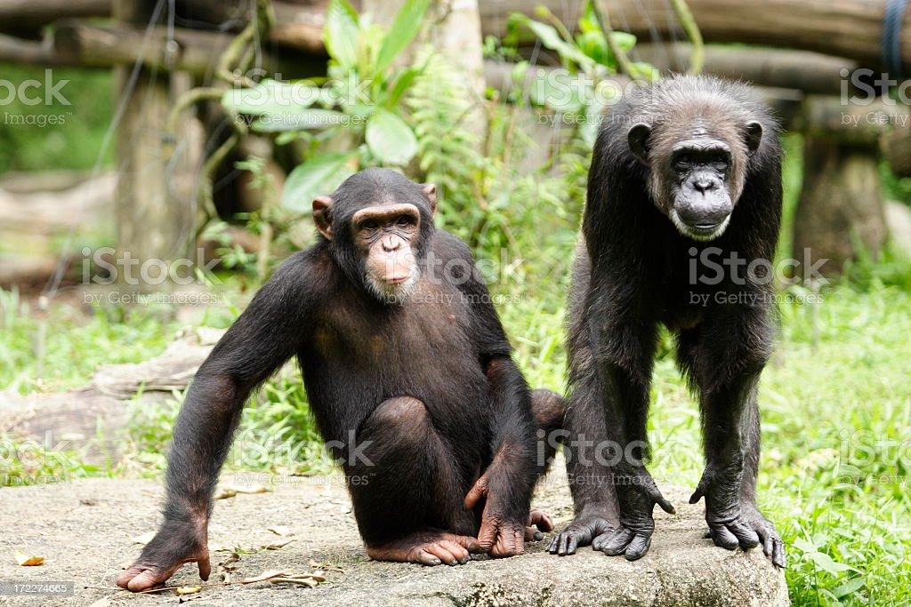 Two dark brown chimpanzees enjoying a day in the wildlife royalty-free stock photo