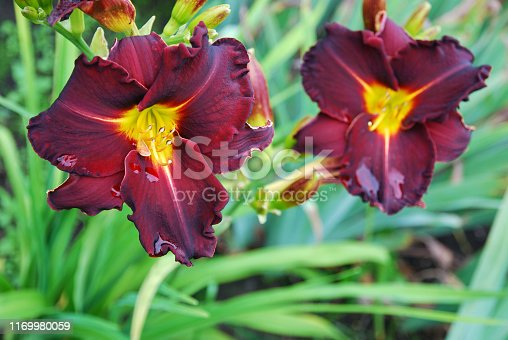 Two burgundy red daylily flowers in garden after rain. Ed Murray breed