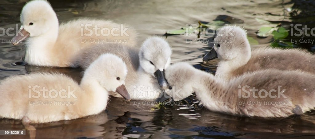 Two day old baby Mute Swans having their first swim royalty-free stock photo