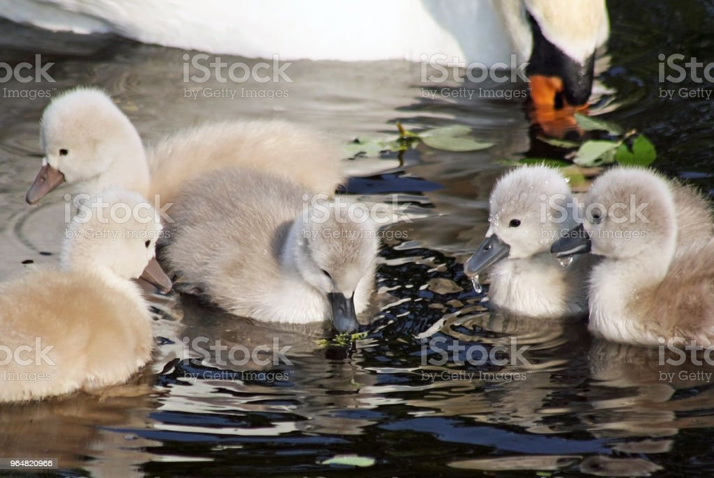 Two day old baby Mute Swans having their first swim with mother nearby royalty-free stock photo