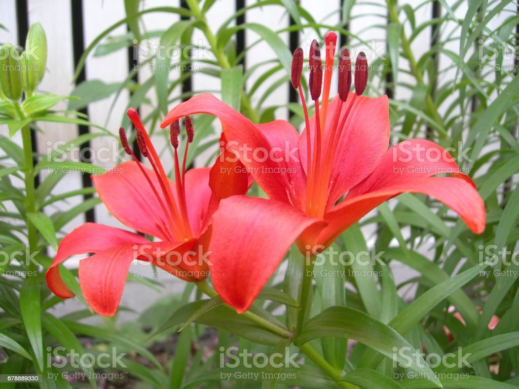 Two Deep Orange Lilies royalty-free stock photo