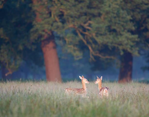 Two Deer in Meadow Near Forest stock photo