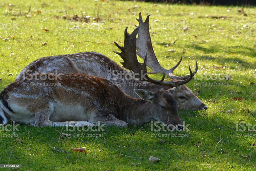 Two deer lying in the grass stock photo