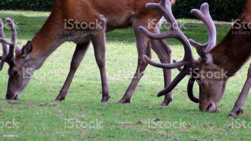 Two Deer With Horns Eating Grass On The Field stock photo