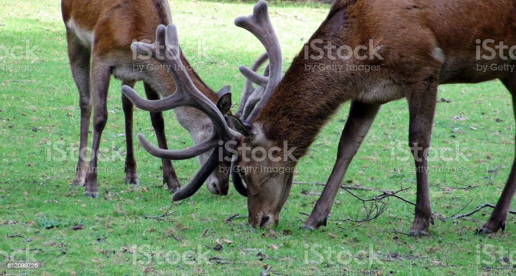 Two Deer With Horns Eating Grass On The Field Scenery stock photo