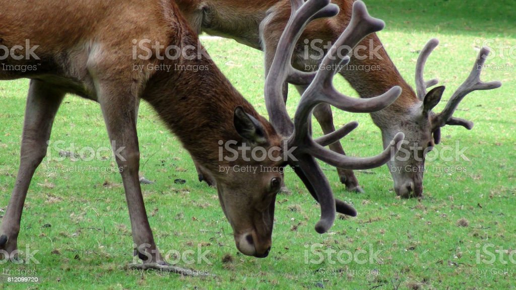 Two Deer With Horns Eating Grass On The Field View stock photo