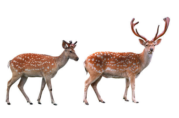 two deers male and female deers isolated in white background axis deer stock pictures, royalty-free photos & images