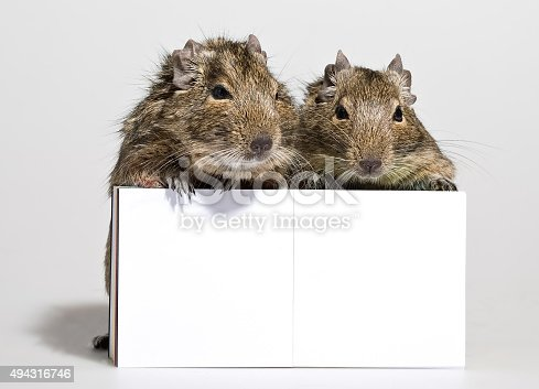 istock two degu pets with blank poster in paws 494316746