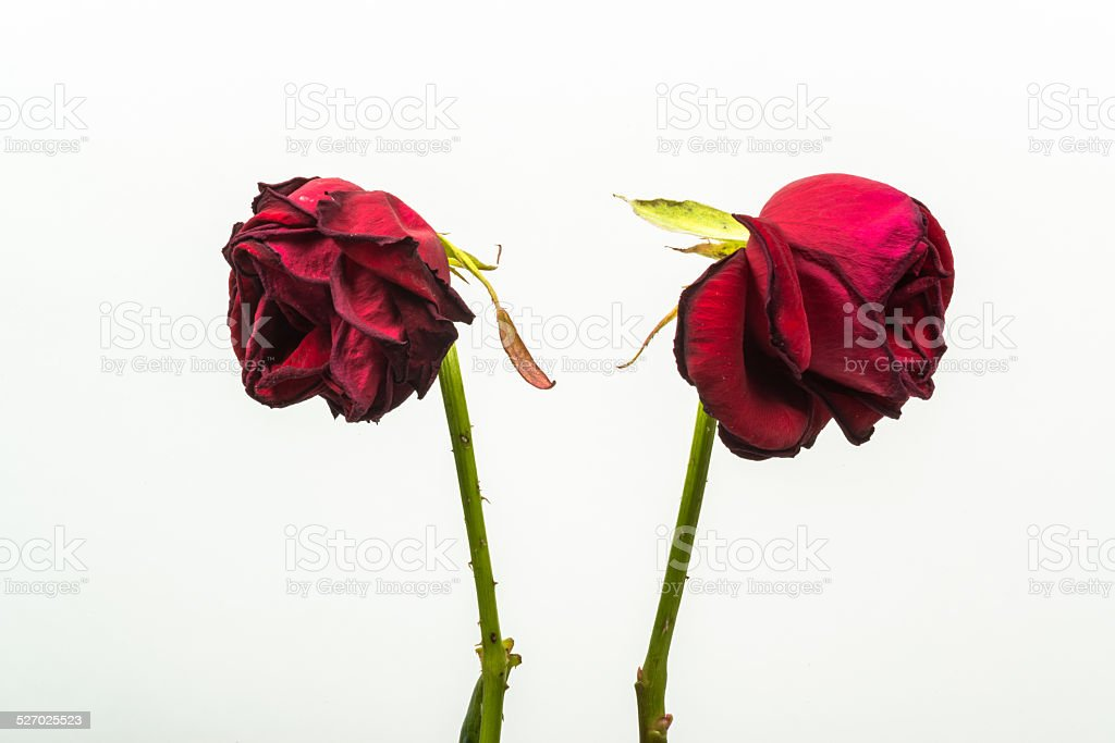two dehydrated roses that are turning from one another stock photo