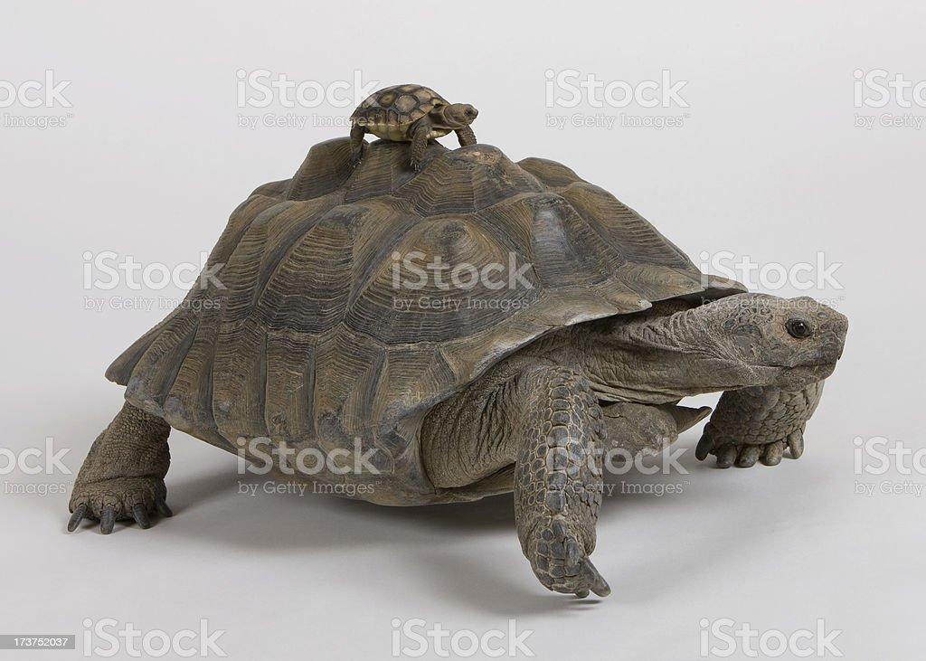 two desert tortoise stock photo