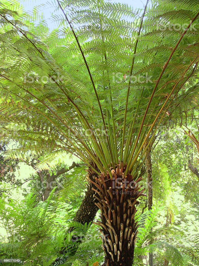 two Dicksonia antarctica tree ferns in bright sunshine - 2 stock photo